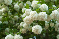 Chinese snowball viburnum flower heads are snowy. Delicate caves of white flowers on the branches. Stock Photography