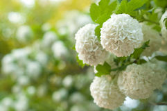 Chinese snowball viburnum flower heads are snowy. Delicate caves of white flowers on the branches. Royalty Free Stock Images