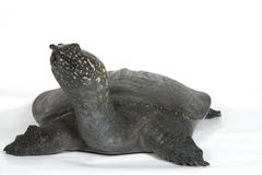 Chinese Soft Shell Turtle isolated Stock Images
