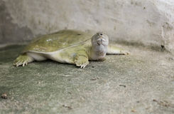 Chinese soft-shelled turtle. Royalty Free Stock Photo