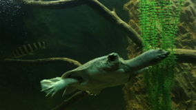 Chinese softshell turtle. Beautifully decorated Marine Aquarium stock footage