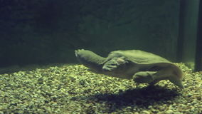 Chinese softshell turtle. Beautifully decorated Marine Aquarium stock video