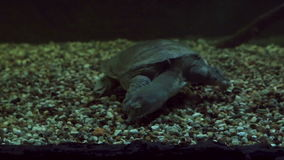 Chinese softshell turtle stock footage