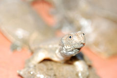 Chinese solf shelled turtle Stock Photography