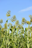 Chinese sorghum Stock Images