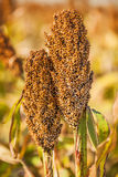 Chinese sorghum Royalty Free Stock Images