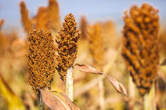 Chinese sorghum Stock Photography