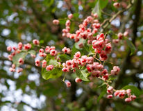 Chinese Spindle Tree fruit Royalty Free Stock Photos