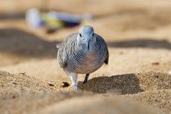 Chinese spotted dove bird on hawaiian beach Stock Photos