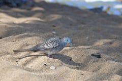 Chinese spotted dove bird on hawaiian beach Stock Image