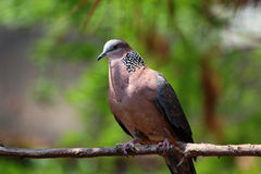 Chinese spotted dove. Spotted dove (Spilopelia chinensis) sitting on tree Royalty Free Stock Images