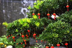Chinese Spring Festival. Pine and Chinese lanterns Stock Photography