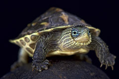 Chinese stripe-necked turtle (Mauremys sinensis). The Chinese stripe-necked turtle (Mauremys sinensis) is a colorful turtle species found in China, Laos,Hainan stock photos