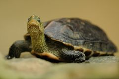 Chinese Stripe-Necked Turtle (Mauremys Sinensis) Royalty Free Stock Images