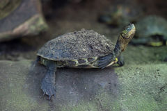Chinese stripe-necked turtle (Ocadia sinensis). Chinese stripe-necked turtle (Ocadia sinensis), also known as the golden thread turtle. Wild life animal stock photography