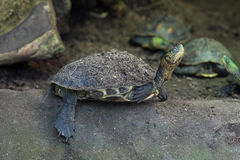 Chinese stripe-necked turtle (Ocadia sinensis). Royalty Free Stock Photography