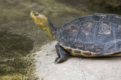 Chinese stripe-necked turtle Royalty Free Stock Image