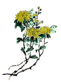 Chinese-style drawings, sketches, chrysanthemum flower Royalty Free Stock Photography