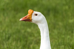 Chinese Swan Goose Stock Photo