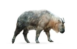 Chinese takin isolated. Over a white background Stock Photography