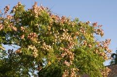 Chinese Tallow Tree Royalty Free Stock Photo