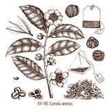 Vector collection of hand drawn Chinese tea plant illustration. Decorative inking background with Camellia sinensis in flowers and. Leaves. Tonic elements set royalty free illustration