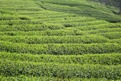 Chinese tea field Stock Photo