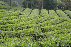 Chinese tea field Royalty Free Stock Photography