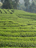Chinese tea field Royalty Free Stock Image