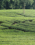 Chinese tea field Stock Photos