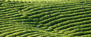 Chinese tea. At the chinese tea harvest,farmers are harvesting the chinese tea Royalty Free Stock Photography