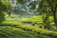 Chinese tea plantation. Typical Chinese tea plantation in the hills west of the city of Hangzhou, China Royalty Free Stock Image