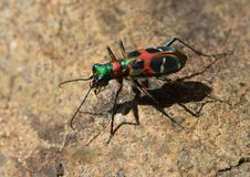 The Chinese tiger beetle. The colorful Chinese tiger beetle is crawling on the stone Royalty Free Stock Photo