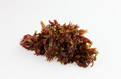 Chinese toon sprouts. It's a a pile of Chinese toon sprouts. It can make a variety of dishes, not only rich in nutrition, and has a high medicinal value Stock Photography