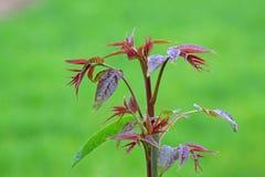 Chinese Toona sinensis bud. In the wild Stock Photo