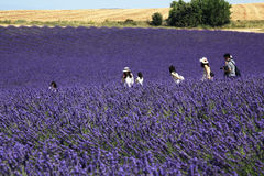 Chinese tourists walking among lavender fields, Provence. Tourists walking among the blossoming lavender  fields on the Plateau of Valensole in Provence, France Royalty Free Stock Images