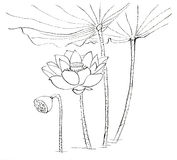 Chinese traditional distinguished gorgeous decorative hand-painted ink-water lily. Lotus Stock Photography