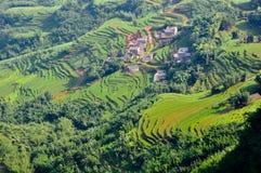 Chinese transplant rice seedlings Stock Image