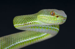 Chinese tree viper / Trimeresurus stejnegeri Royalty Free Stock Photos