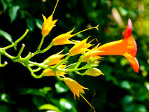 Chinese Trumpet Creeper Blooming Stock Photos