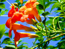 Chinese Trumpet Creeper Blooming Royalty Free Stock Photos