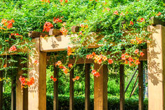 Chinese trumpet creeper. Lingxiaohua means respect, reputation, meaning the motherly love Stock Image
