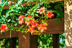 Chinese trumpet creeper. Lingxiaohua means respect, reputation, meaning the motherly love Stock Photos