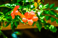 Chinese trumpet creeper. Means respect, reputation, meaning the motherly love Royalty Free Stock Image