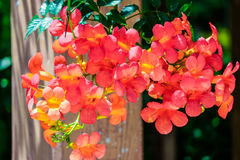 Chinese trumpet creeper. Means respect, reputation, meaning the motherly love Stock Photography