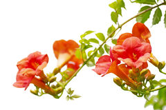 Chinese Trumpet Vines Stock Photography