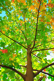 Chinese tulip tree, Liriodendron tulipifera. Colorful leaves of Chinese tulip tree(Liriodendron tulipifera) in the fall. Qingdaoï¼›China stock images