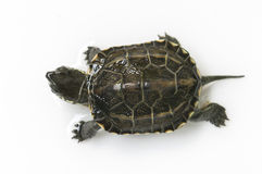 Chinese turtle Stock Photos