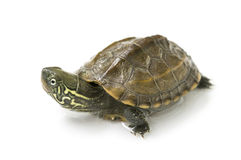 Chinese turtle royalty free stock photo