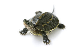 Chinese turtle Stock Images